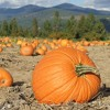 Quest for the perfect pumpkin, as narrated by Shannon and Ashley