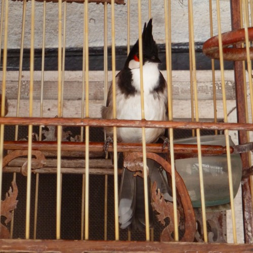 The singing of the red-whiskered bulbul