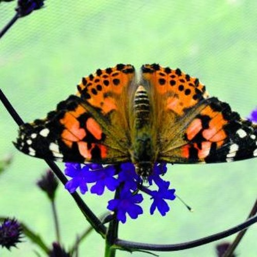 The Great Butterfly Adventure | BBC Four |Radio Trail