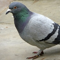 PIGEON - CAVETOWN COVER