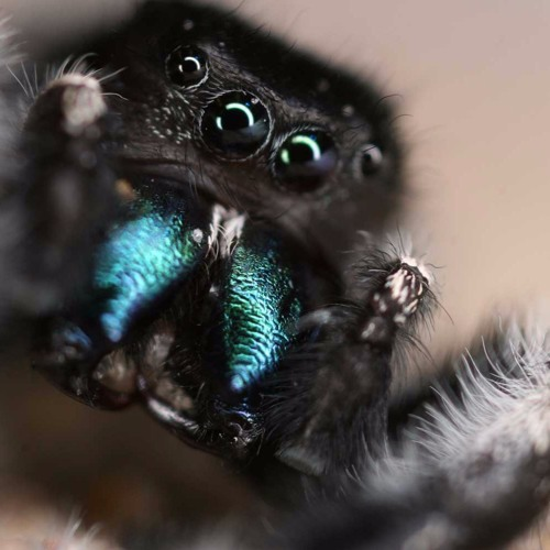 Leap Into the World of Jumping Spiders