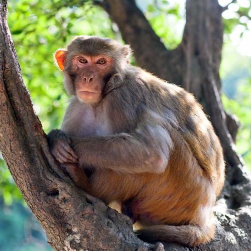 Wireless Tech Enables Paralyzed Monkey to Walk Again