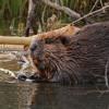 Beaver Talkings
