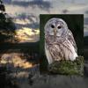 Barred Owl Reunion