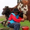 Cesar Ramírez, Productor De Leche, Vereda Panamá: Para un mejor porvenir de las veredas y ganaderos.
