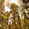 The Solemn Sequoia (Classical)