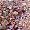 Reducing and Recycling Fall Leaves