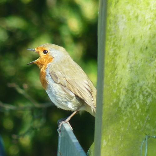 Robin (Erithacus rubacula)