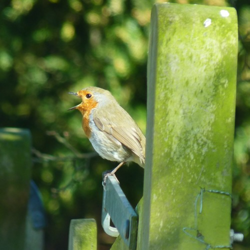 Robin (Erithacus rubacula) slowed down quarter Speed