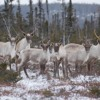 Chasse au Caribou, la décision gouvernementale contestée - Par Andrée-Ann Simard