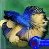 WA 0813 3138 6118 Jual Ikan Cupang Kediri, Jual Ikan Cupang Keren, Jual Ikan Cupang Kudus