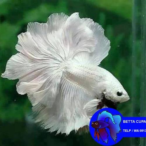 Wa081331386118 Jual Bibit Ikan Cupang Surabaya Jual Bibit Ikan Cupang Jogja Jual Bibit Ikan Cupang By Ikan Hias Betta Murah