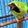 Suara Kicauan Cucak Hijau Mini Di Alam Liar