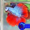 WA 0813 3138 6118 Bibit Ikan Cupang Hias, Bibit Ikan Cupang Kediri, Bibit Ikan Cupang Yang Bagus