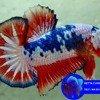 WA0813 3138 6118 Ikan Cupang Serit Dragon, Ikan Cupang Serit Dayak, Ikan Cupang Serit Dan Halfmoon