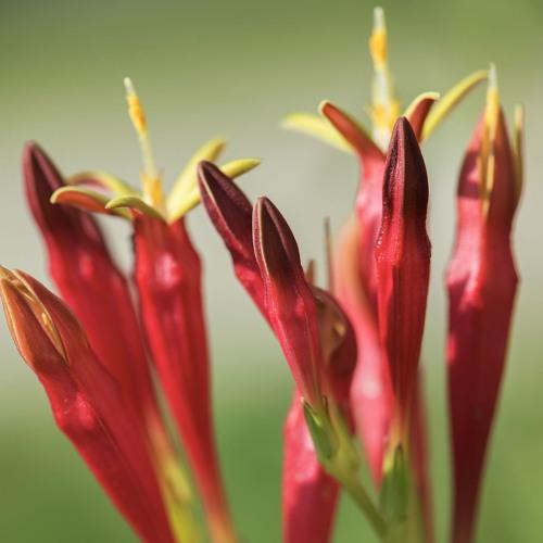 Portrait Garden (Tish - Spigelia marilandica)
