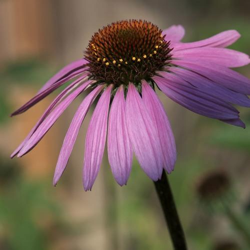 Portrait Garden (Carrie - Echinacea purpurea)