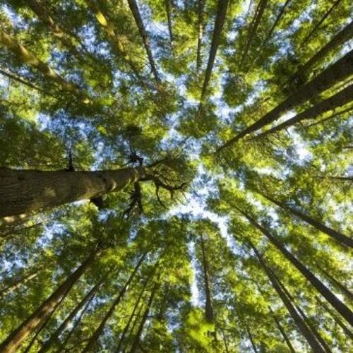 Cedar Above