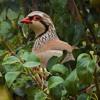 12-23-16 Partridge in a Pear Tree