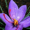 PREVIEW: Growing saffron in Vermont