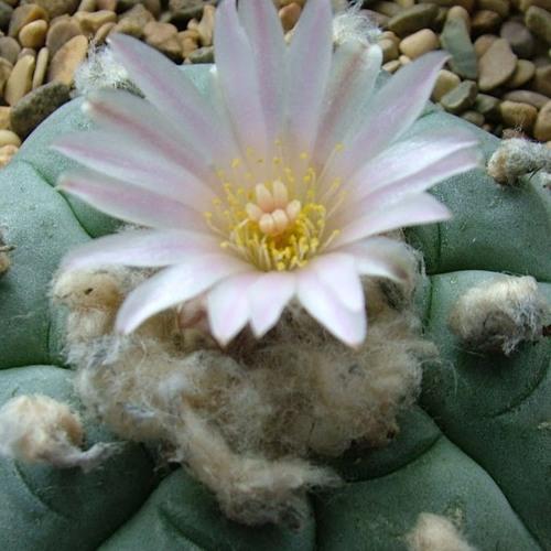 Peyote, la planta milenaria que no es una droga