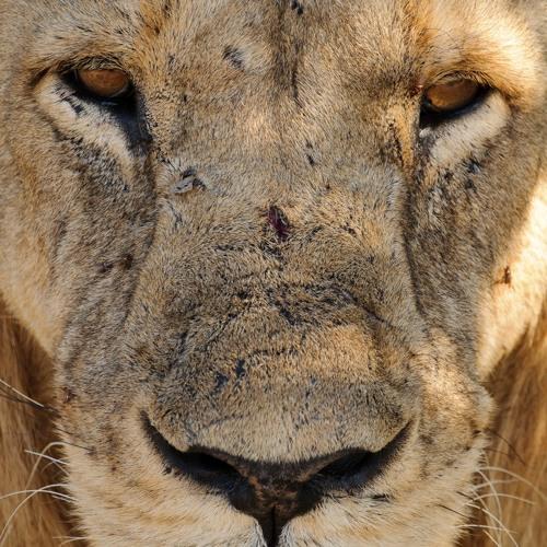 Male Lions Roaring, Tarangire National Park, Tanzania (2011-08-29-c2-1007d)