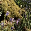 "Bluebells Set Wet In The Moss (Original - Capt. Murphy ""Between Friends"")"