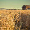 Bible Teaching-parable of the wheat and the weeds