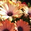 Las Flores -Café Tacuba (Cover)