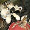 Backyard Poultry By Jennifer Bearden