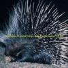 Porcupine Rap - Lyrics by Carolyn and Saba - Beat Prod. DJ Ray