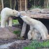 Comment assurer le confort d'un ours polaire ou d'un singe dans un parc zoologique ?