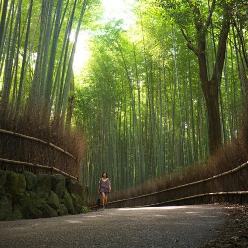 Bamboo in Arashiyama Forest