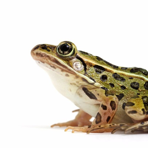 The Secrets of Sticky Frog Saliva