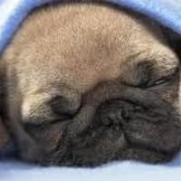 sleep well mr.pug