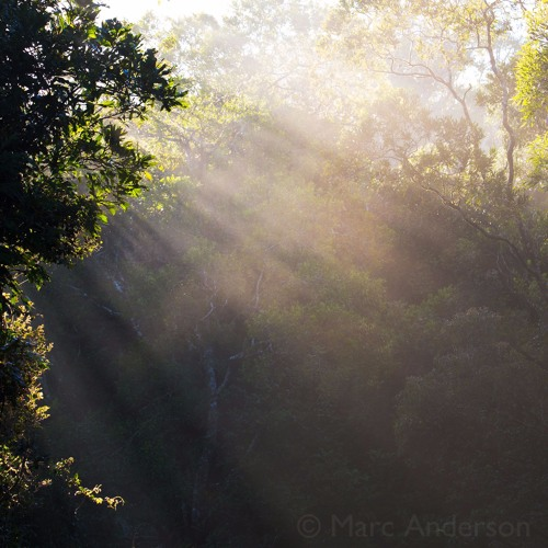 Cloud Forest Dawn - Recorded in Mount Lewis NP, QLD, Australia