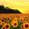Little Sunflower Practica