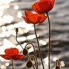 The history of the Poppy from First World War to international symbol