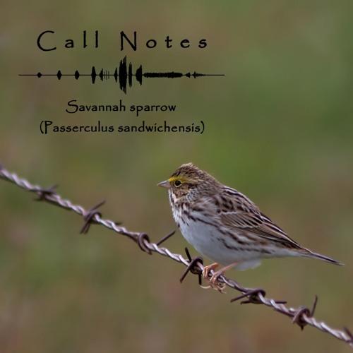'Call Notes' Episode #1 -- Savannah sparrow