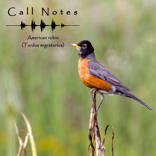'Call Notes' Episode 2 -- American robin