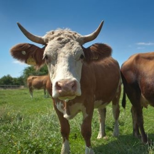Warum brauchen Kühe ihre Hörner?