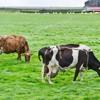 Há mesmo um surto de vaca louca em Niterói (RJ)?
