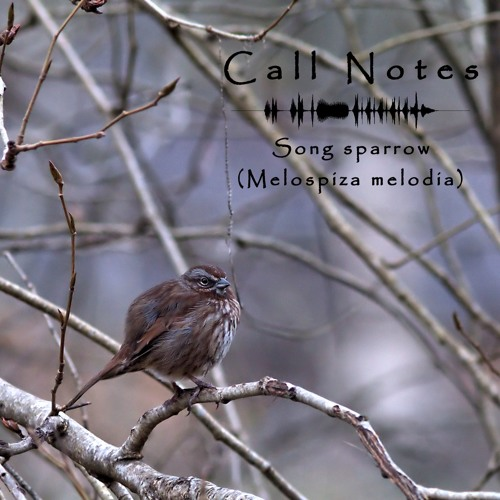 'Call Notes' Episode 4 -- Song Sparrow