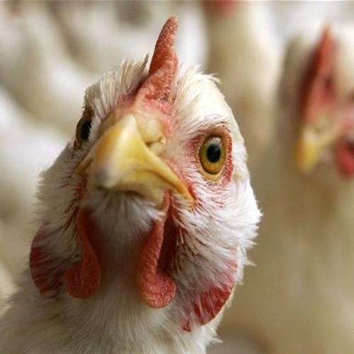 3 - 11 - 17  Bird Flu