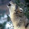 experimento musical basado en mis lobos