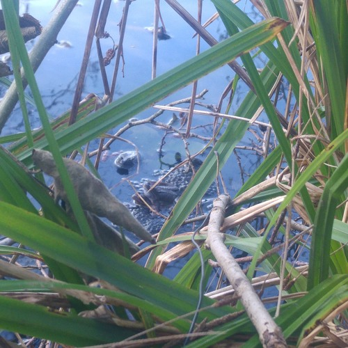 Croaks and calls of Common Frogs and Toads