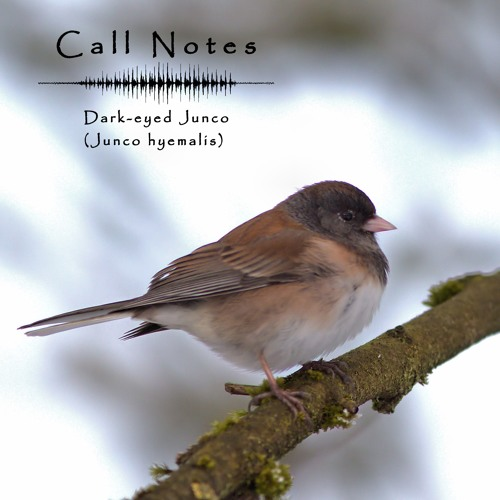 'Call Notes' Episode 5 -- Dark-eyed Junco