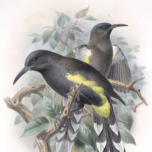 The Tale of The Kauaʻi ʻōʻō