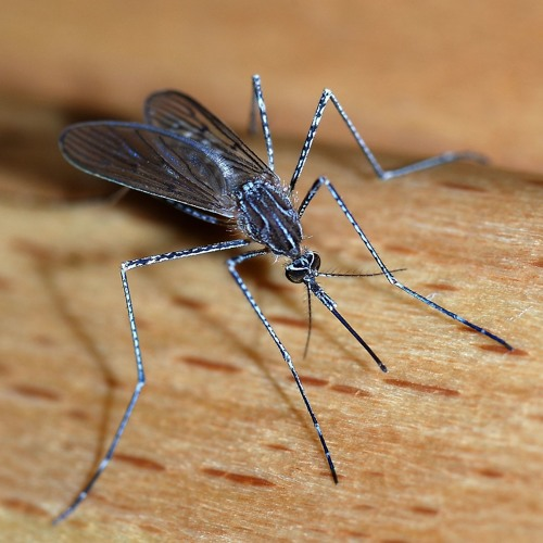 Episode 759 - Zika Mosquito Threat May Still Exists!