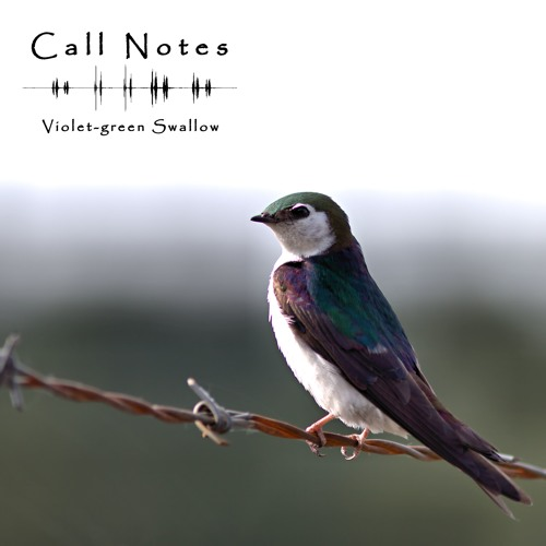 'Call Notes' Episode 6 -- Violet-green Swallow